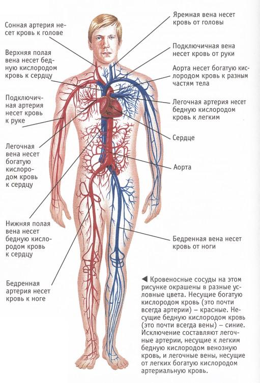 строения тела человека,